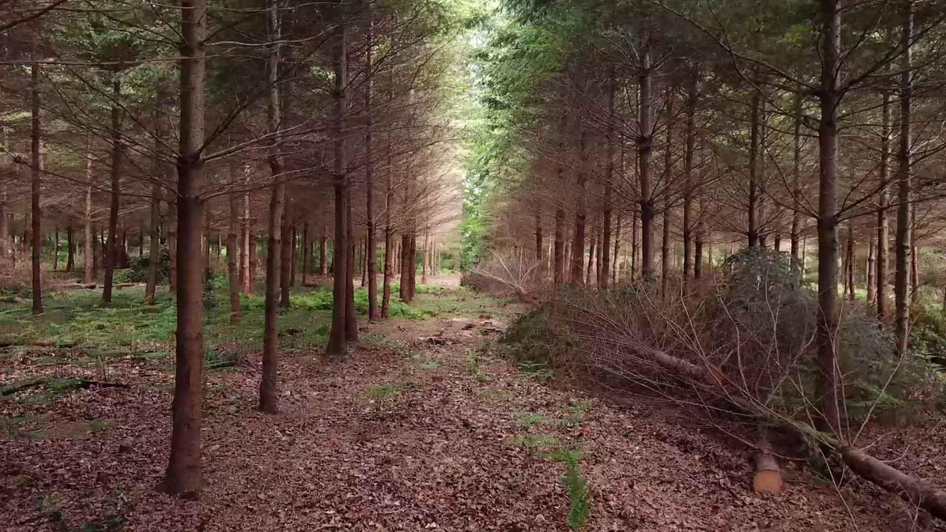 forêt d'épicéas